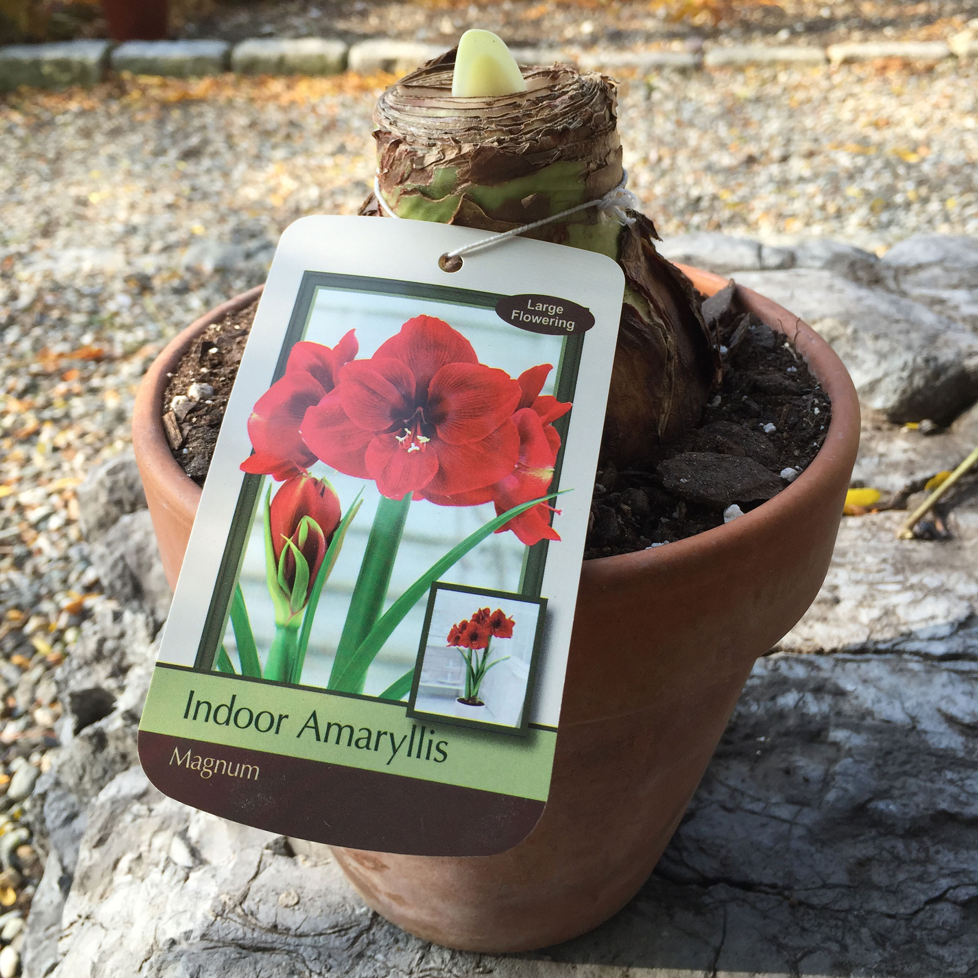 Amaryllis bulb planted in pottery with variety tag
