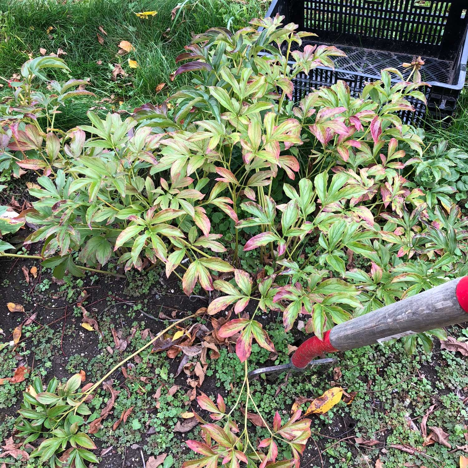 Digging fork and peony plant