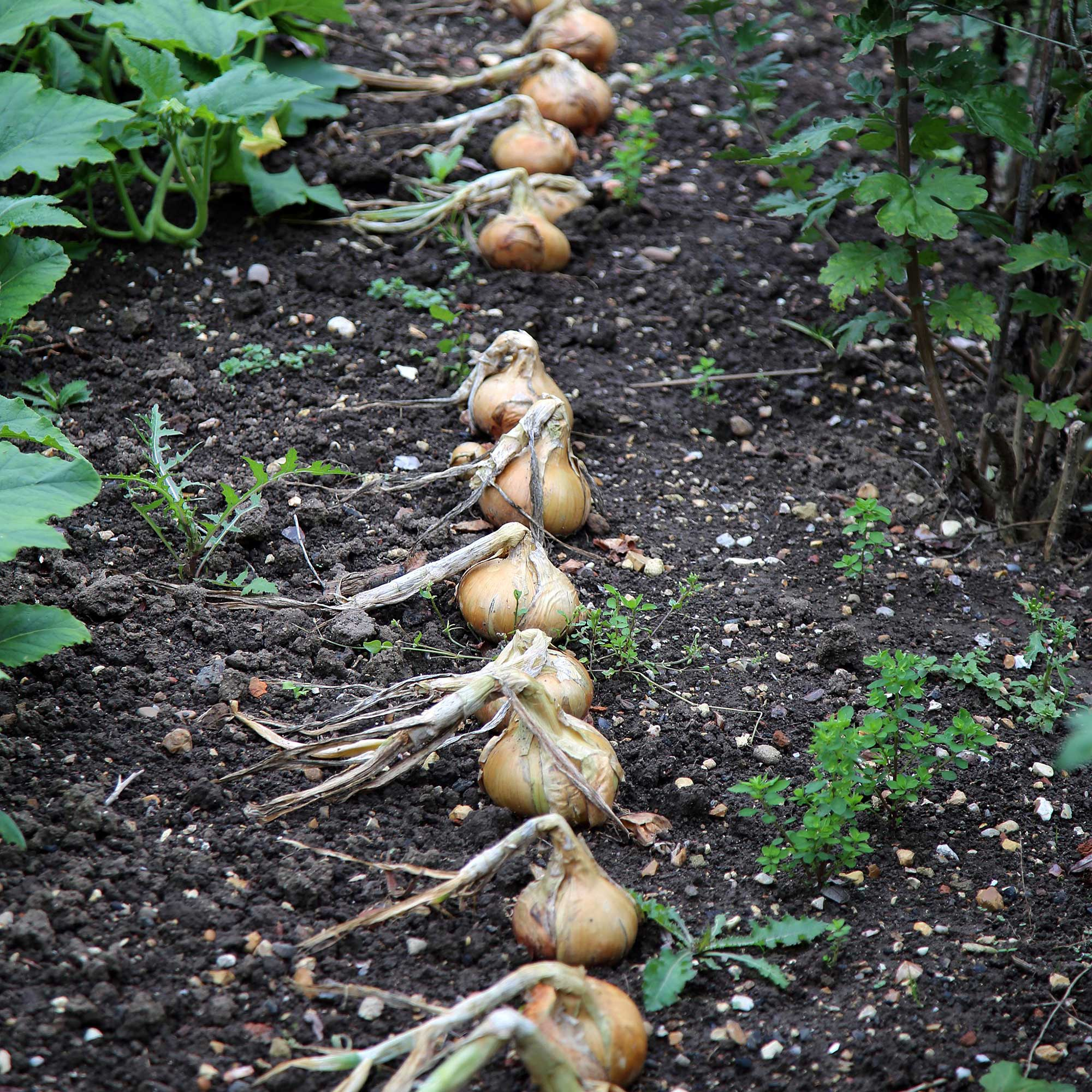Onions with tops fallen ready to harvest