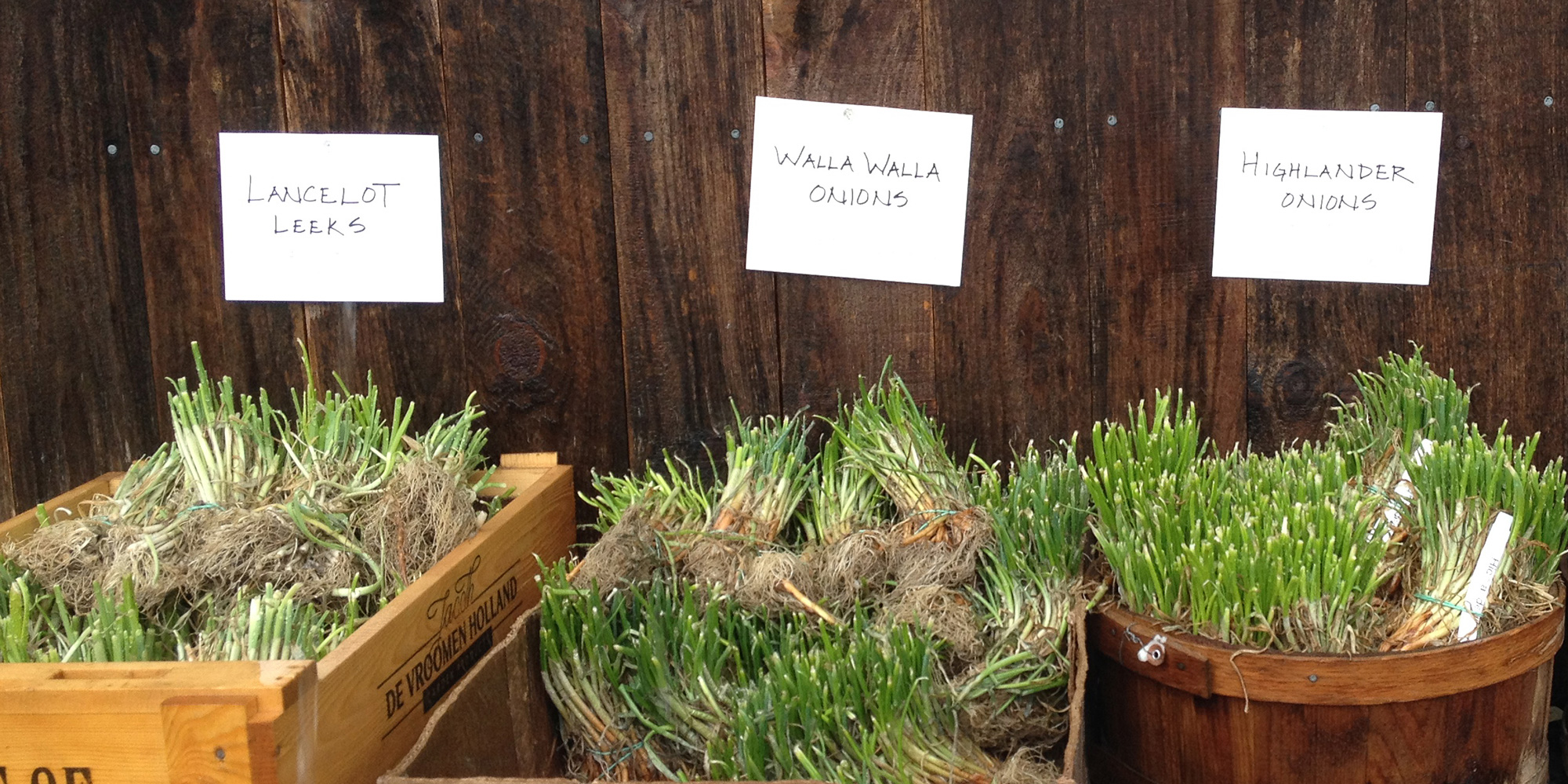 Crates of onion and leek plants for sale in spring