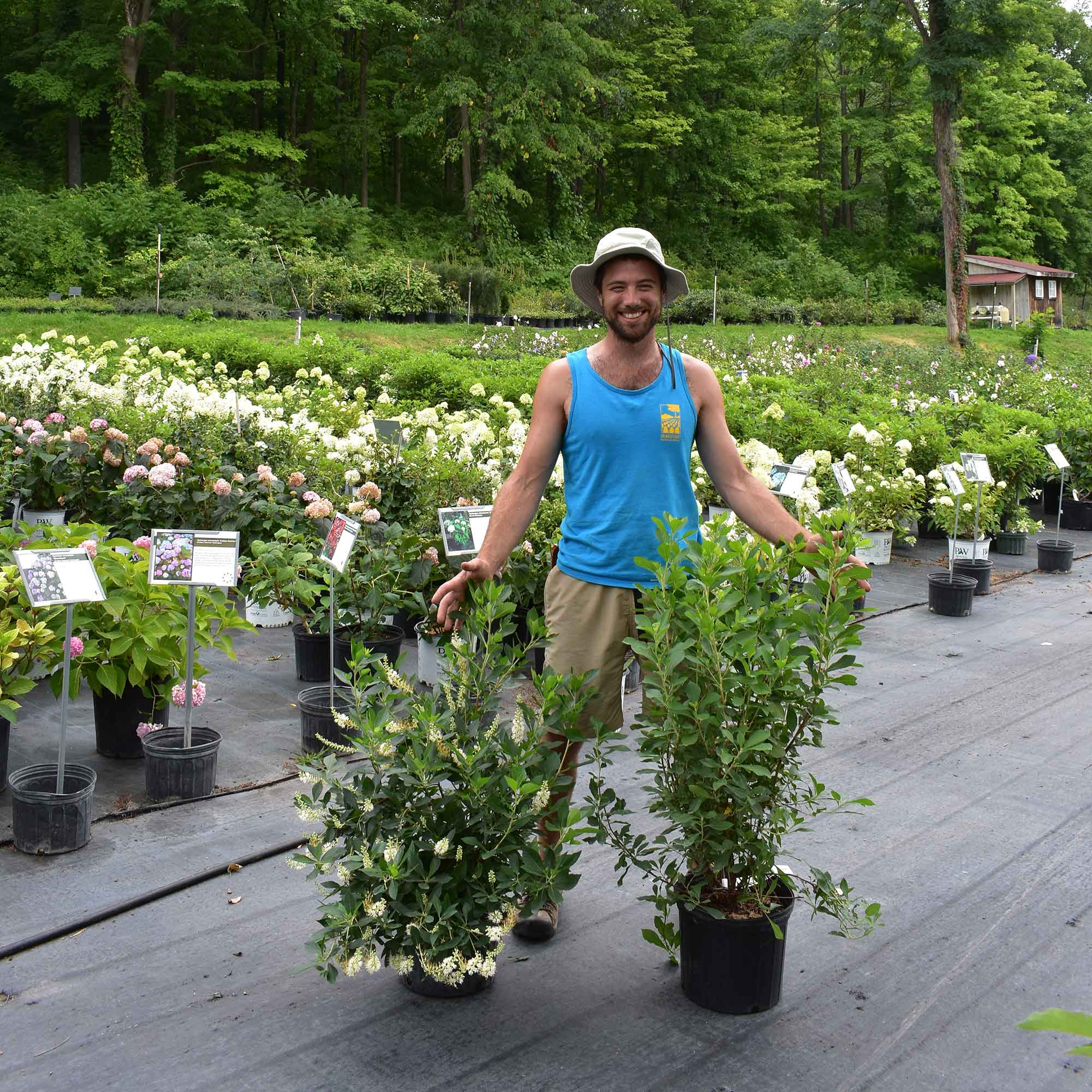Team member with container shrubs