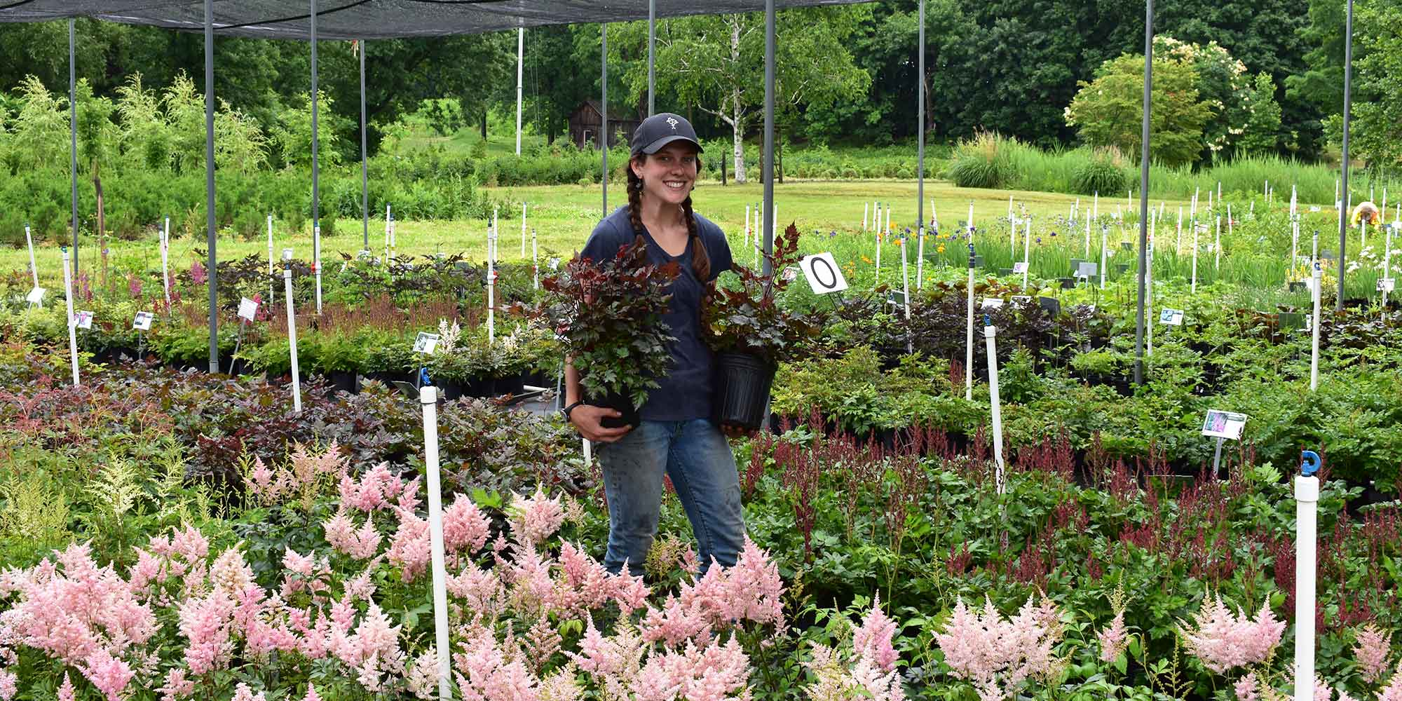 Team member holding astilbe in perennial growing area