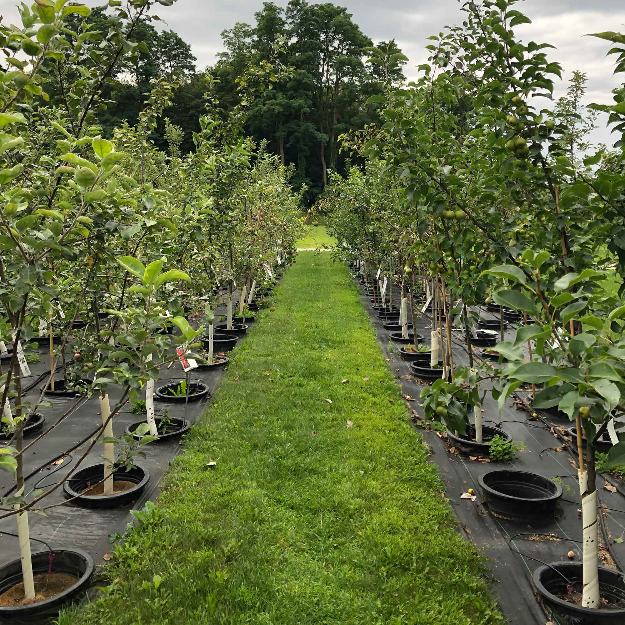 Rows of fruit trees in pot-in-pot growing system