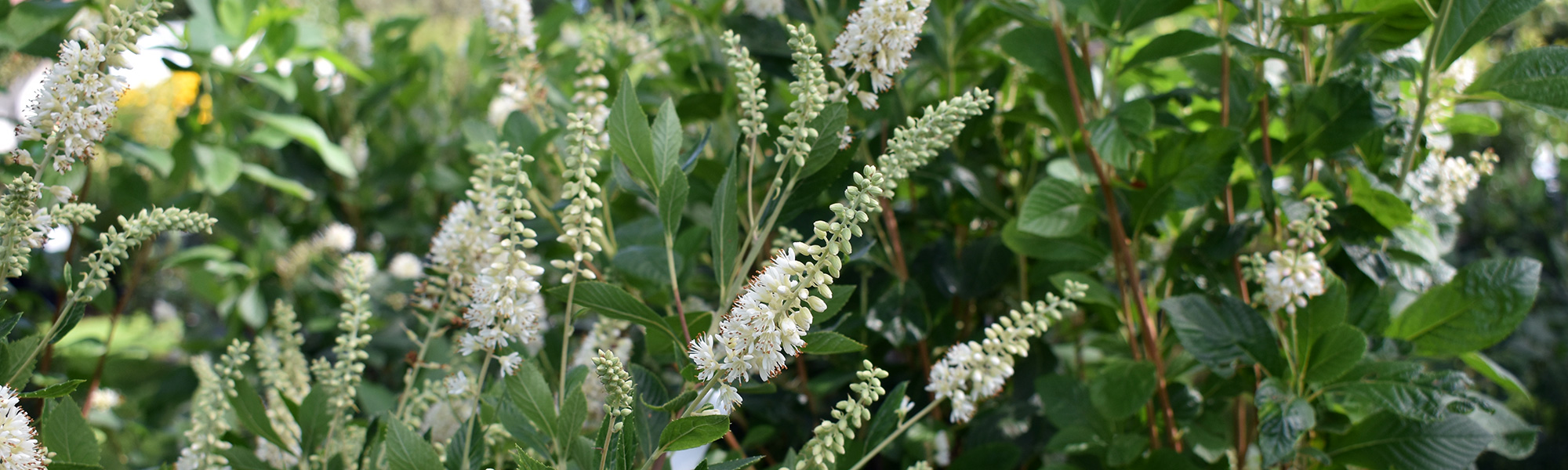 White clethra summersweet that can be pruned in spring