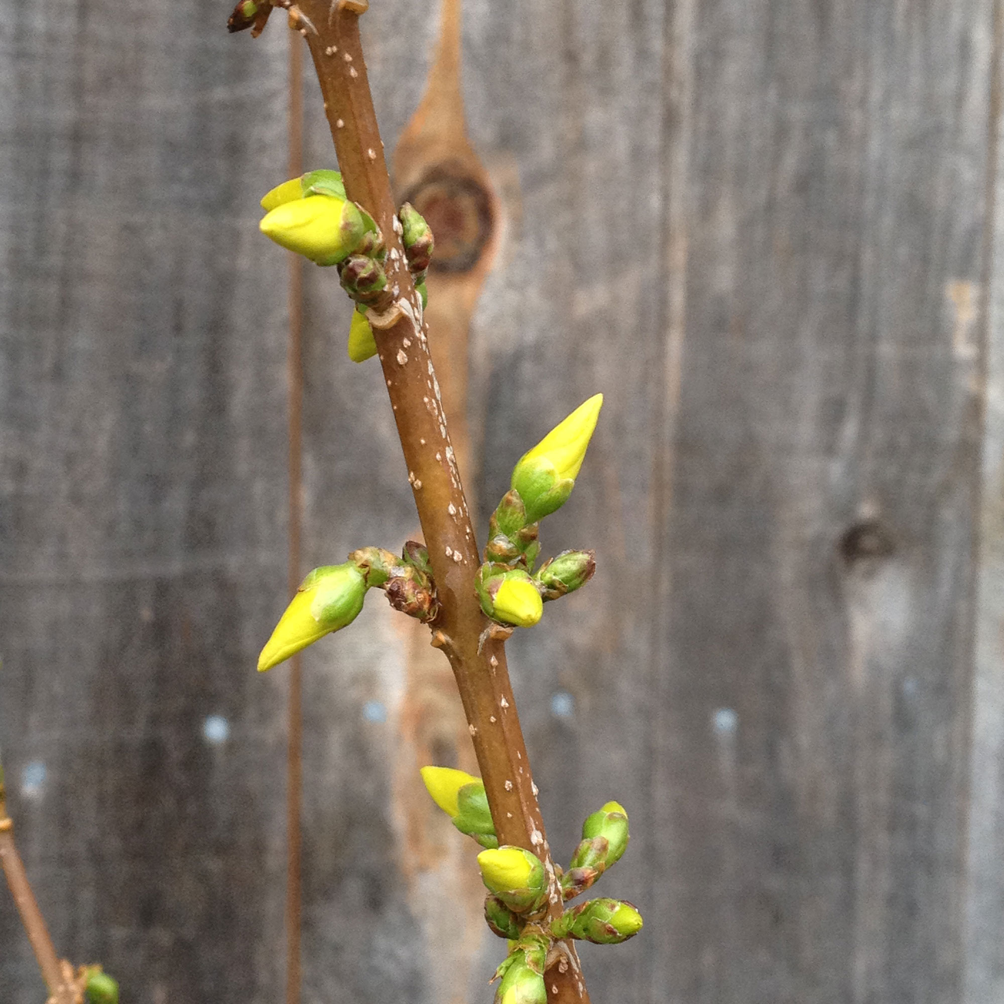 Yellow forsythia buds on last season's growth