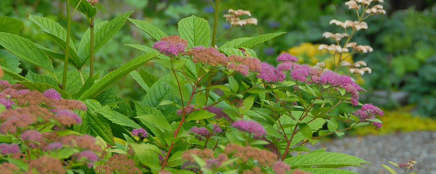 Pink spirea shrub that can be pruned in spring