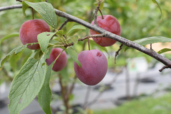 Red plums growing on tree