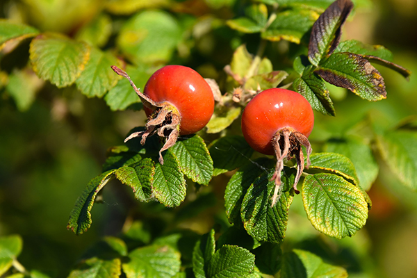 Red rose hips on rosa rugosa