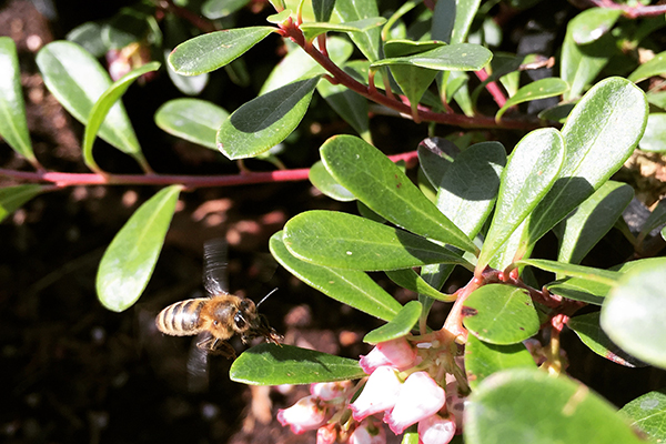 Bee near evergreen foliage and pink bearberry flowers
