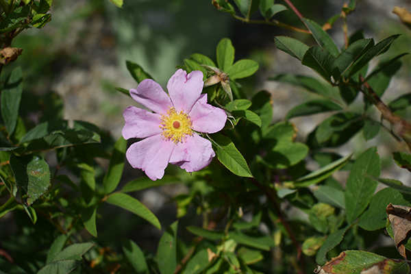 Soft pink rosa palustris bloom and green foliage