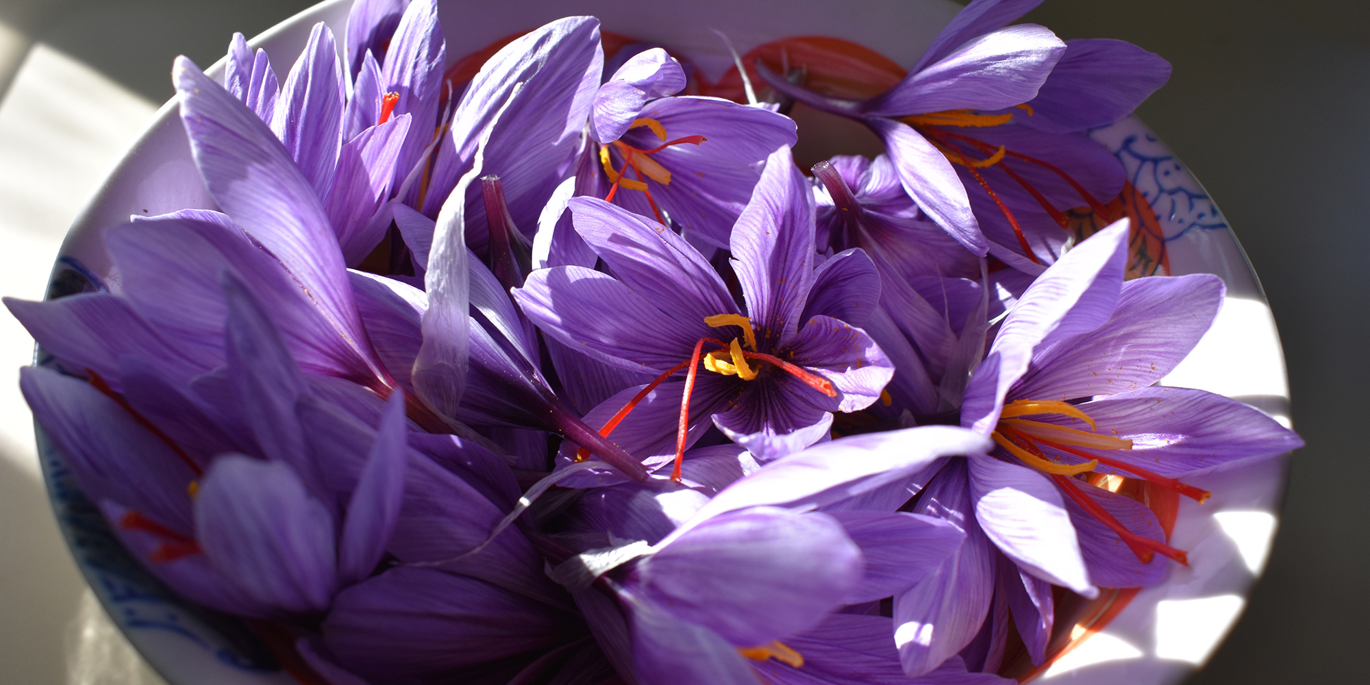 Harvested purple saffron crocus flowers