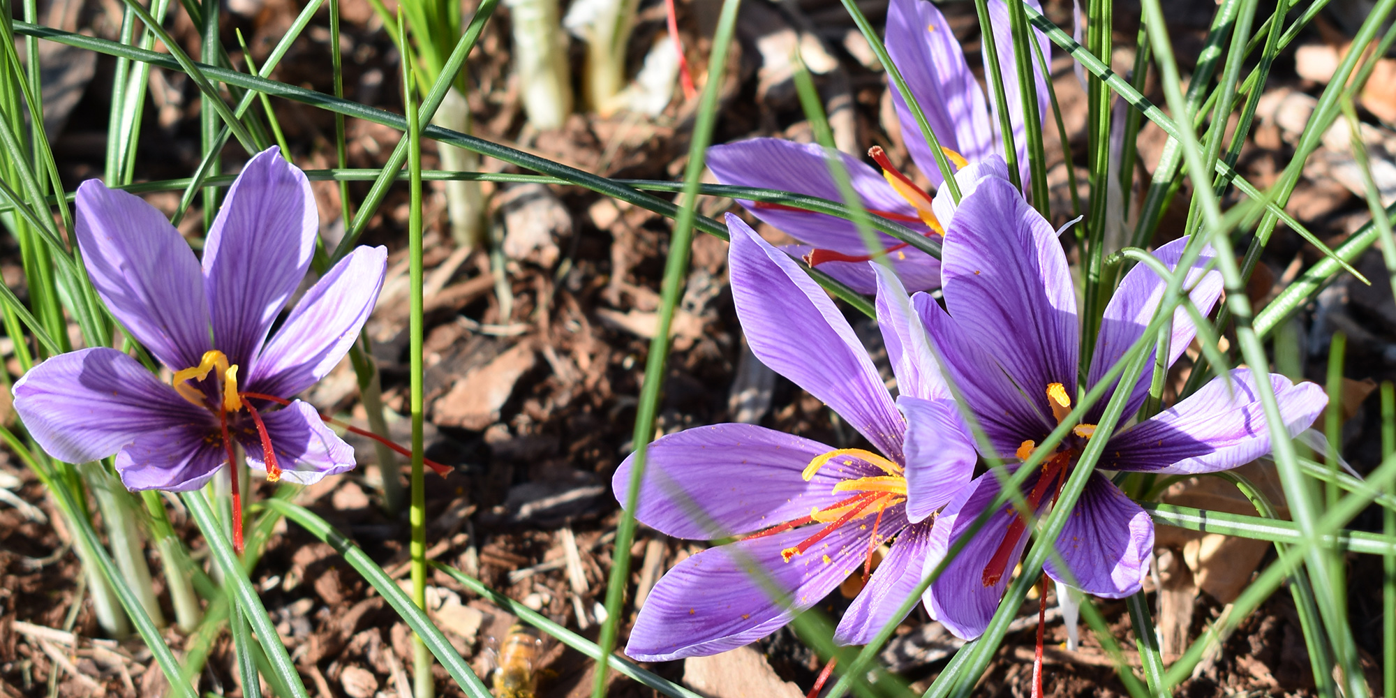 Purple saffron crocus flowers with red stigmas