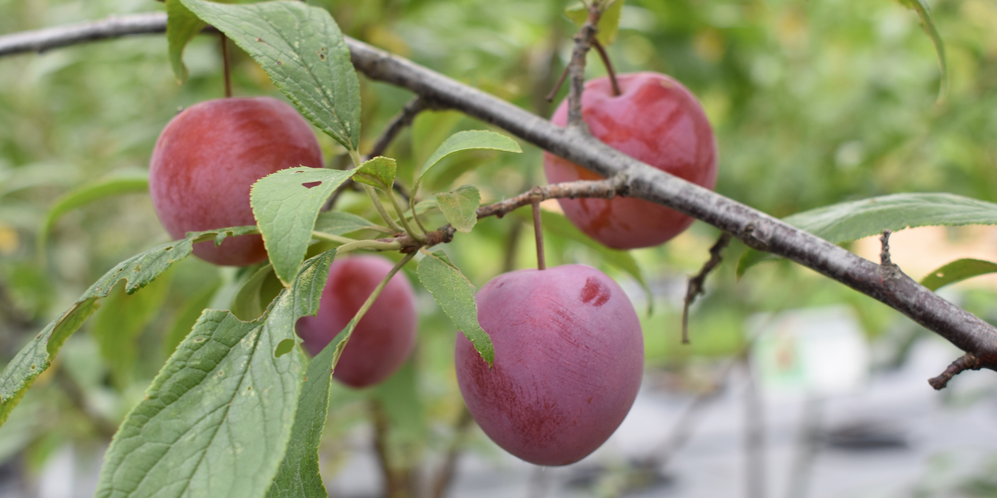 Maroon plums on branches of tree
