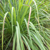 Warm Human Lemongrass 100percent Pure Essential Oil Solid Perfume - .28 oz tin