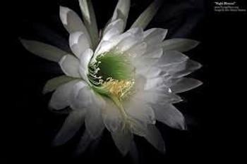 Uncommon Scents Night Blossom Perfume Essence - 1/3 oz roll-top