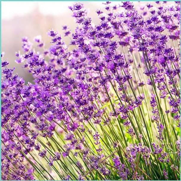 Uncommon Scents French Lavender Essential Oil - 1/3 oz roll-top