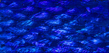 Abalone - Cobalt Blue Awing 03