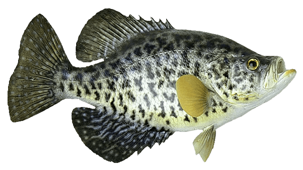 crappie-trans.png
