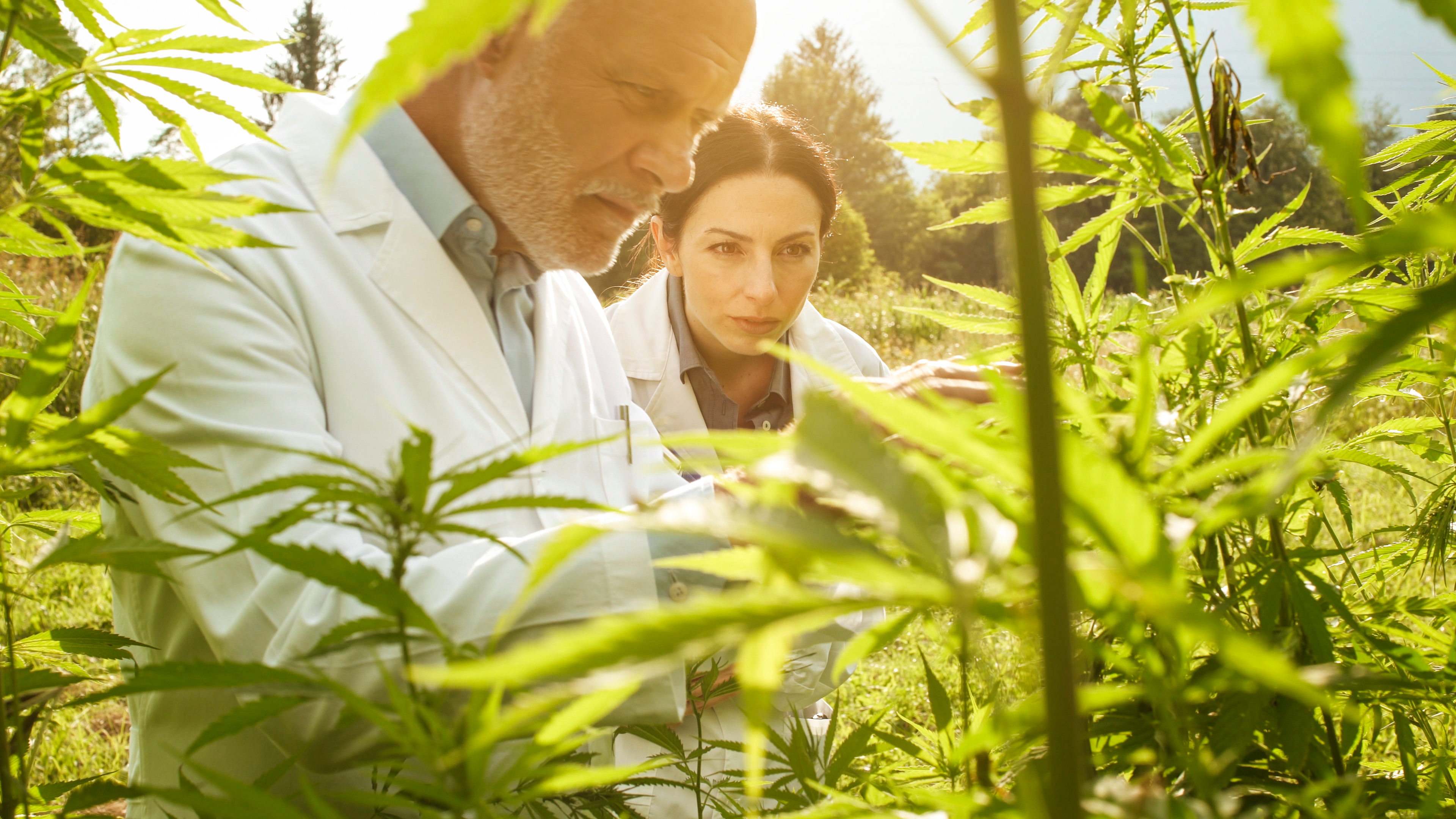 Where does CBD come from