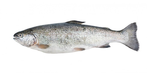 Whole Sea Reared Trout - Superior Grade Whole Sea Trout x 1 (min 4kg)