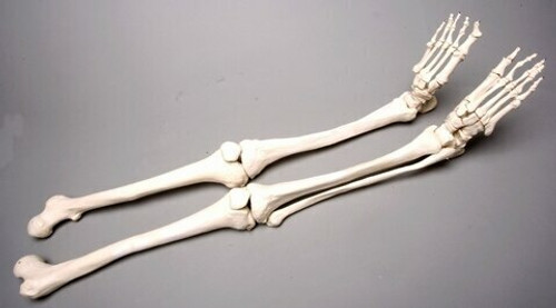 Skeleton Legs, Life-Size, Pair, 2nd Class