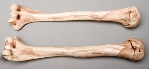 Humerus Bones, Life-Size, Pair, 2nd Class, Aged Version