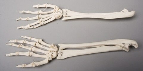 Skeleton Forearms, Life-Size, Pair, 2nd Class