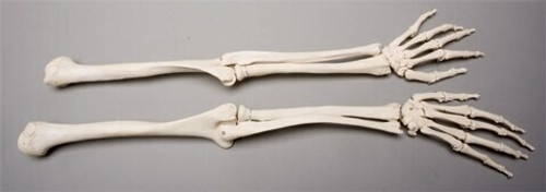 Skeleton Arms, Life-Size, Pair, 2nd Class