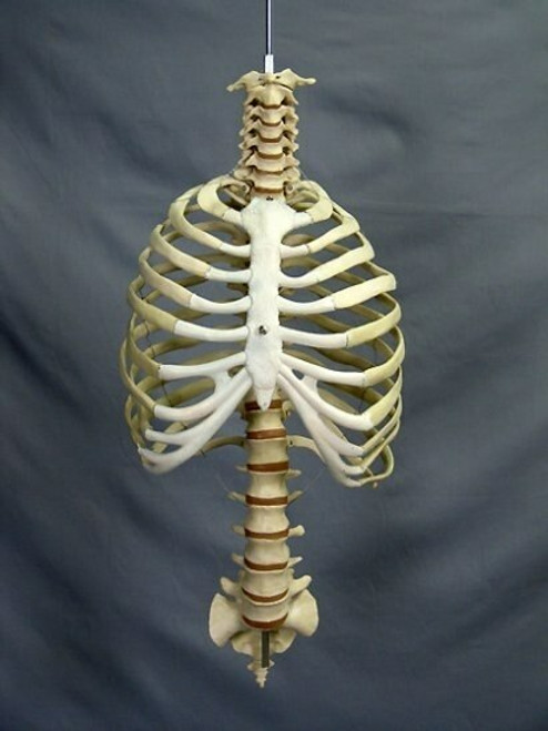 Skeleton Spine And Rib Cage, Life-Size, 2nd Class