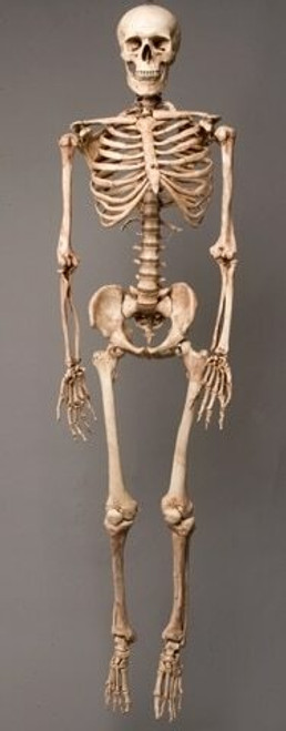 Harvey Skeleton, Life-Size, 2nd Class, Aged Version