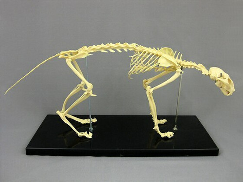 Skeleton Cat 19""
