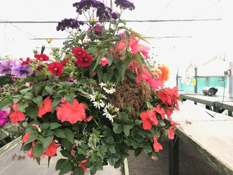 Moss hanging basket - Mix color - 12 inches