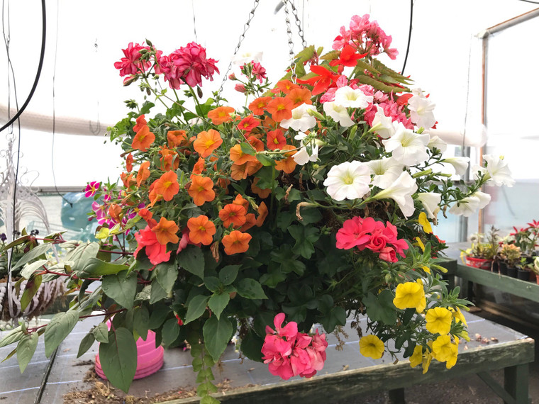 Moss hanging basket - Mix color - 16 inches