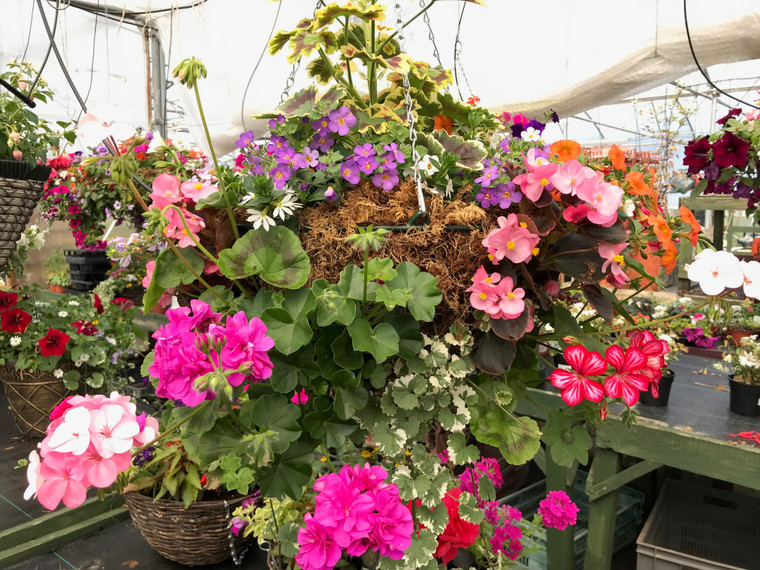 Moss hanging basket - Mix color - 18 inches