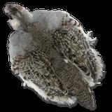 Full Hungarian Partridge Skin