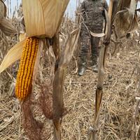 """""""NUTRI-CRAVE"""" Corn"""