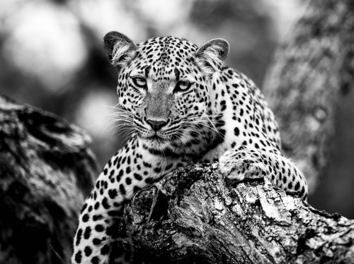 Languid Leopard_Marie Jordan_2019_Black and White Photography