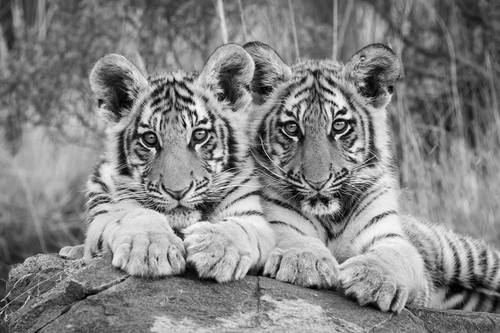 Twin Tiger Cubs_Marie Jordan_2021_Black and White Photography