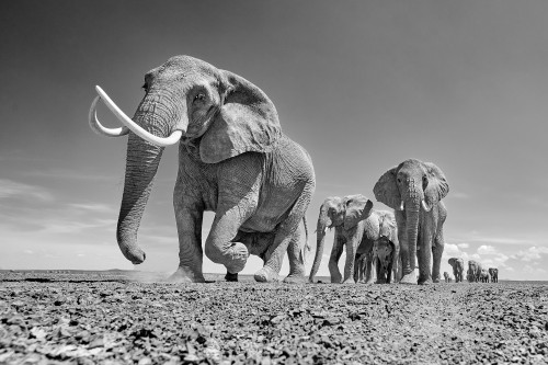 March of the Matriarch_Chris Fallows_2020_Fine Art Photography: Monochrome