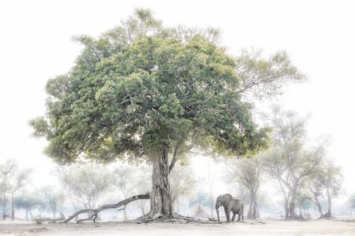 The Fig and Elephant_Chris Fallows_2020_Fine Art Photography: Monochrome