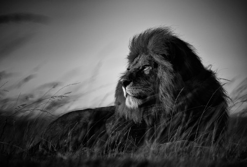 'Chris Fallows', 'Bob Junior',  2018, 'Fine Art Photography', Monochrome, Serengeti, Tanzania, Africa, lion, predator, 'wildlife photography'