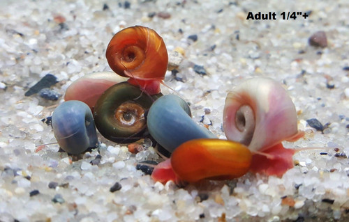 """10+ Random color Ramshorn Snails (Adult size 1/4""""+)"""