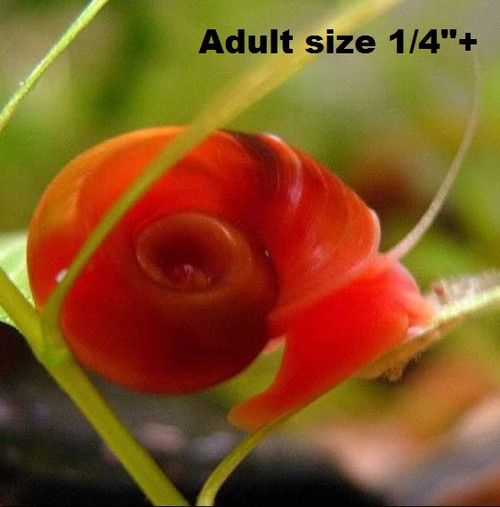 """5+ Red ramshron snails (Adult size 1/4""""+)"""