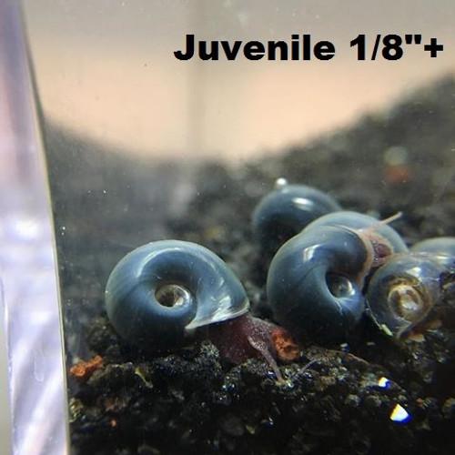 """5+ Blue ramshron snails (Juvenile size 1/8""""+)"""