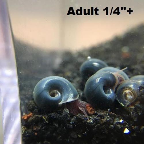 "5+ Blue ramshron snails (Adult size 1/4""+)"