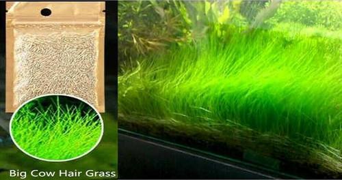 Aquarium Grass Seeds (Big Cow Hair Grass) Aquarium plant <USA FREE SHIP>