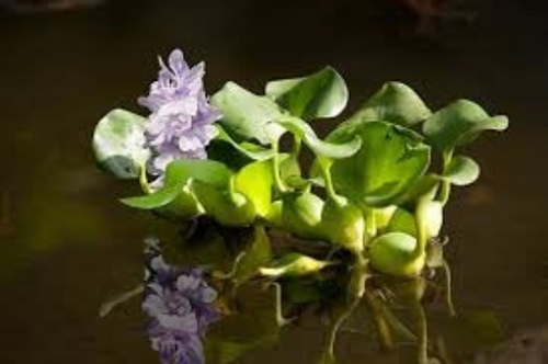 Water Hyancinth - Live Pond Plant