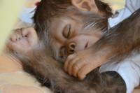Henry the Chimp Reborn Vinyl Doll Kit by Jade Warner