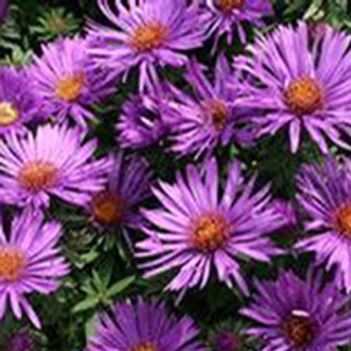 Aster novae-angliae 'Purple Dome' - New England Aster