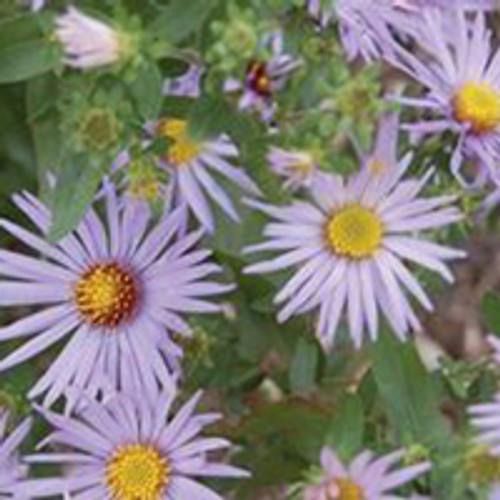 Aster oblongifolius 'Raydon's Favorite' - Aromatic Aster